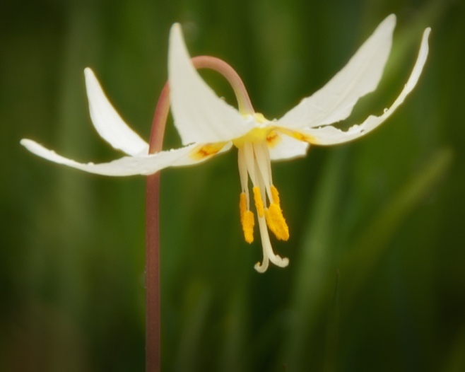 fawn lily 2