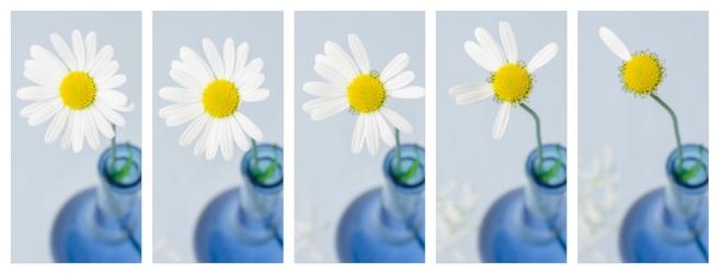 daisy timelapse