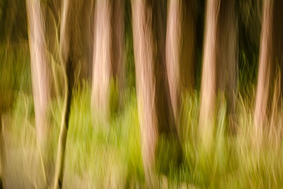 abstract cedars