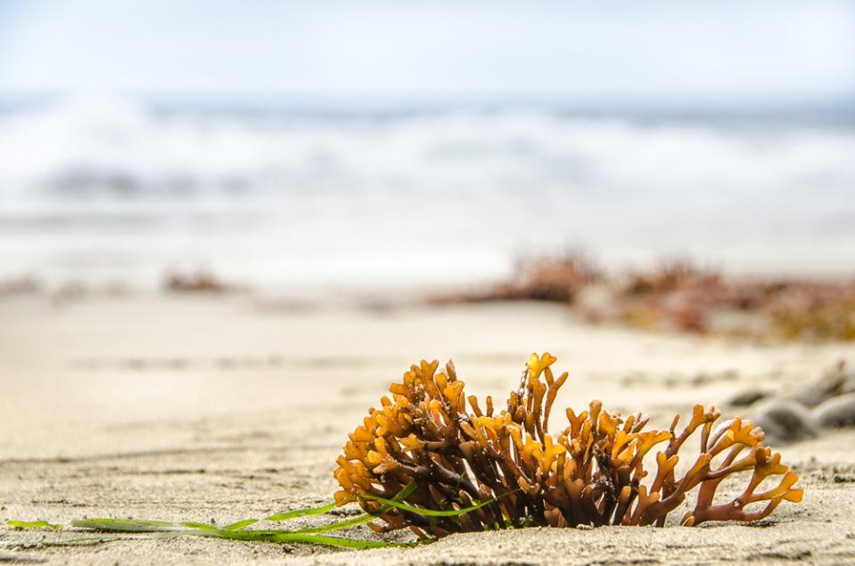 beach weed