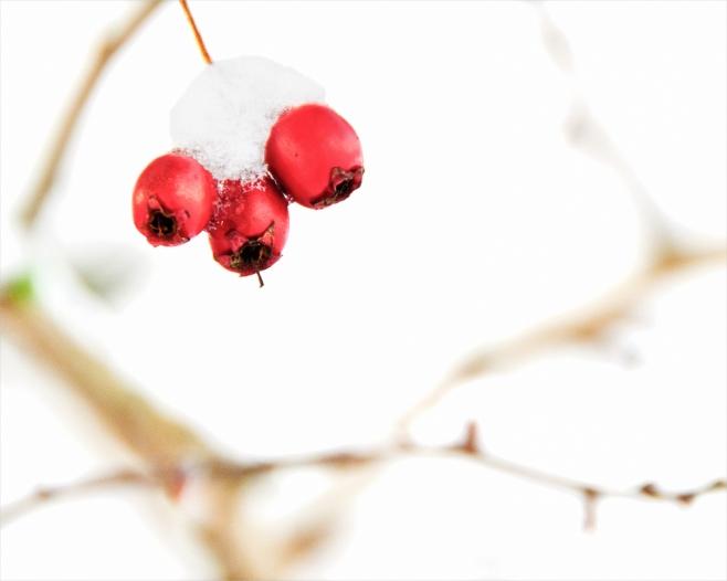snowy berries