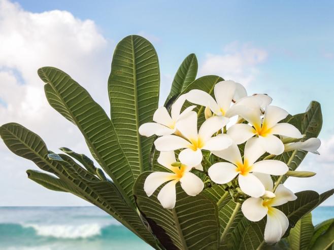 Caribbean frangipani